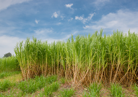 Sugarcane field in blue sky