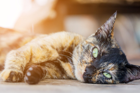 three color cat lying on wooden