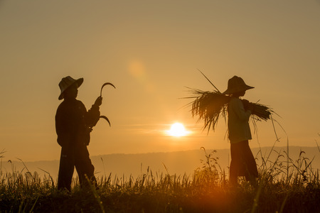 Silhouette of children Grain harvest in the fields with sunrise background 版權商用圖片 - 65741269