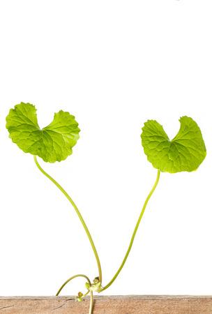 longevity medicine: gotu kola leaves on white background Stock Photo