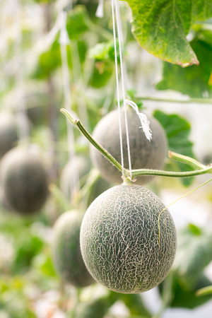 Cantaloupe melons growing in a greenhouse supported by string