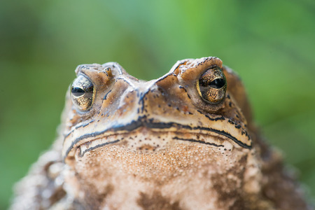 close up Common Toad ,asian toad brown,Bufo Bufo