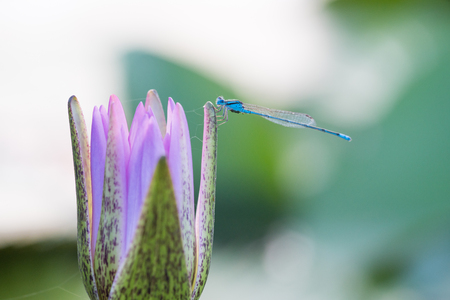 dragonfly and purple lotus