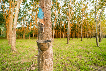 rubber tree garden product for rubber industrial