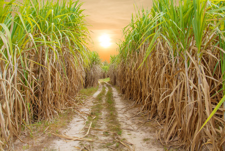 Sugar cane field with blue sky Stock Photo