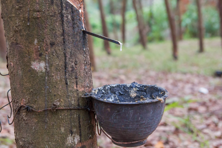 close up rubber latex drop from rubber tree to pot Stock Photo