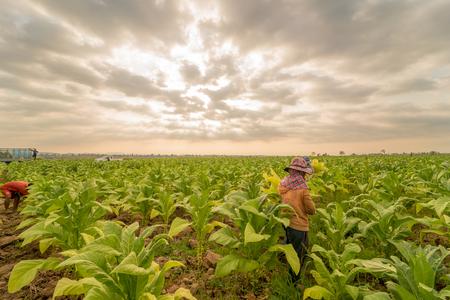 labor working in tobacco farmland,remove tobacco leaf Reklamní fotografie