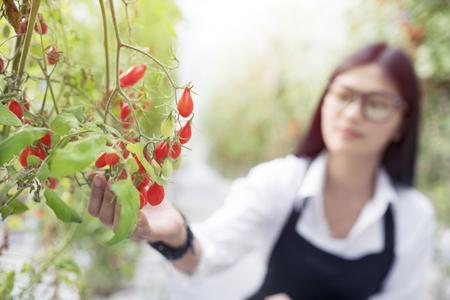 asain gardener investigate quality tomato in garden