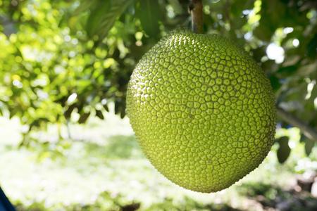 Jackfruits On the Jackfruit tree in the garden