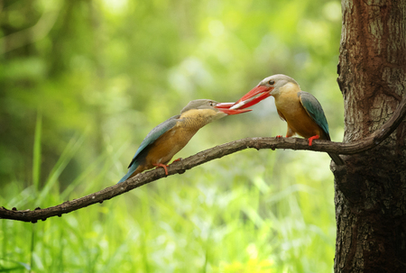 Family king fisher with fish