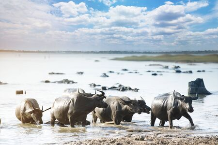 Water buffalo in river with cloud blue sky Stockfoto - 129176120
