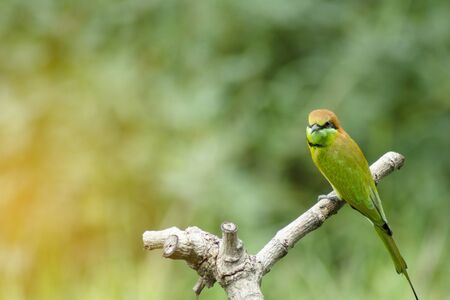 beautiful bird Chestnut headed Bee eater on a branch.(Merops leschenaulti) with green background Stockfoto