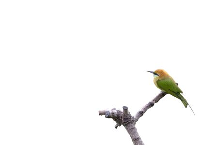 beautiful bird Chestnut headed Bee eater on a branch.(Merops leschenaulti) on white background