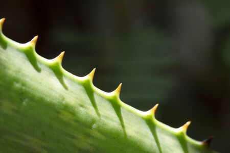 Close up aloe vera leaves Stockfoto - 129429963