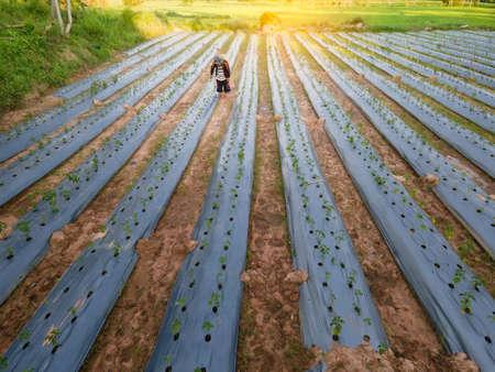Aerial view or bird eye view of farmer spraying fertilizer in rice fields Фото со стока