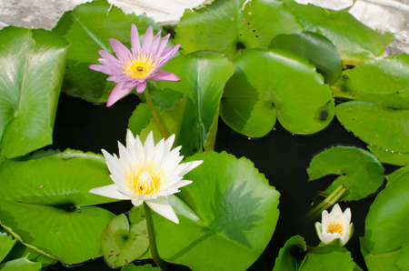 Lotus flower and Lotus flower plants photo