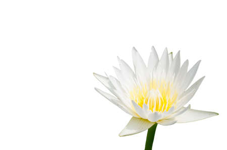 Closeup white lotus flower in the white background  photo