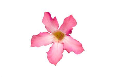 Desert rose flower closeup isolated on white background Stock Photo - 17902849
