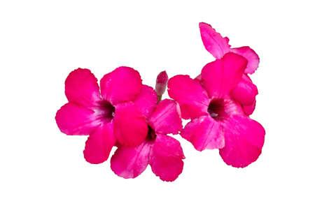 Desert rose flower closeup isolated on white background Stock Photo - 17902853