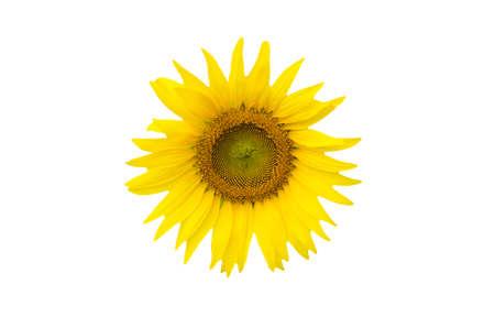 sunflower isolated: Girasole isolato sfondo bianco Archivio Fotografico