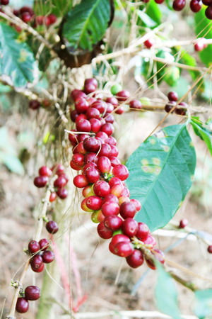 unpicked: Coffee beans on plant Stock Photo
