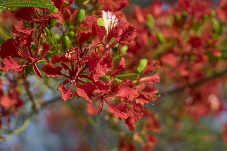 rosids: close up Beautiful poinciana ,peacock flower, Gulmohar flower with blur background
