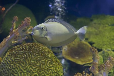 naso: grey tang fish in  Aquarium Stock Photo