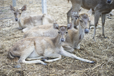 virginianus: portrait of deers laying on a dry grass floor