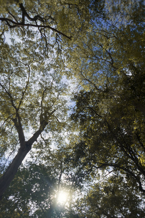summer trees: Under the branch of tall trees ,yellow leaves with natural sun ray and blue sky background, spring season