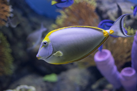 naso: tang fish, in Aquarium Stock Photo