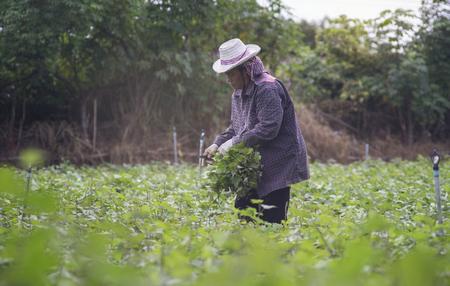 market gardener: Prachuapkhirikhan,Thailand -July 12, 2016: Thai local farmer harvesting a sweet potato(yams) in a field,Prachuapkhirikhan Province, Thailand,filtered image,selective focus