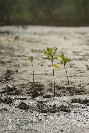 plantlife: portrait of a young mangrove tree on a mud field,selective focus,filtered image Stock Photo