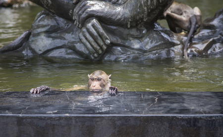globalwarming: Long tailed macaque,monkey having a soak in a pool for relax from hot summer,global warming