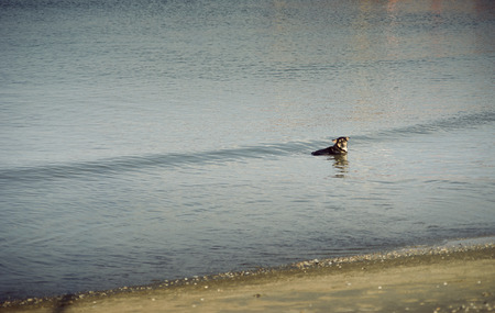 globalwarming: thai dog having a soak in a sea for relax from hot summer,global warming
