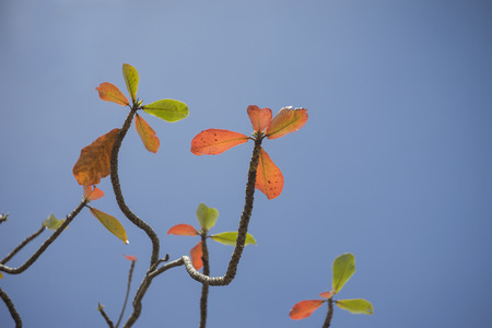 Autumn red leave with blue sky background.nature color picture style.selective focus