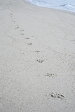 huellas de perro: Huellas de perro a un seguimiento a lo largo de una playa de arena de los pasos shore.dog en un foco image.selective sand.filtered