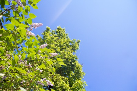 naturaleza: Sunny day, beautiful lilac flowers on blue sky background