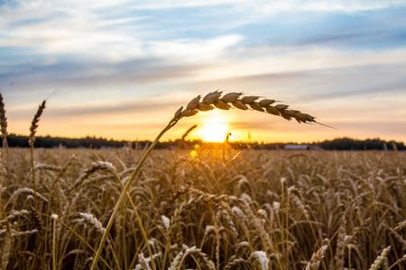 beautiful cobweb on wheat shining to the rising sun Stock Photo