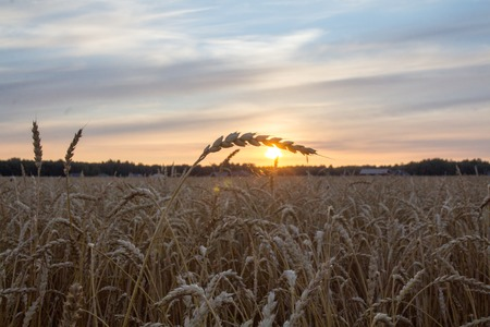 beautiful cobweb on wheat shining to the rising sun Stock Photo