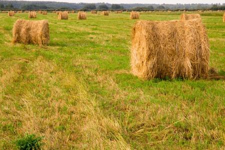 haystacks in a field near a farm village. harvest in late summer. sunrise