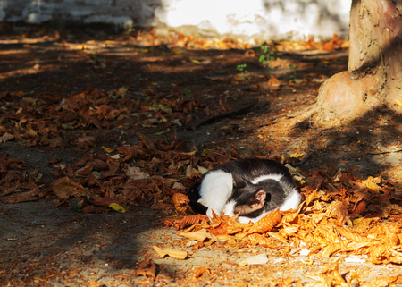 autumn cat: Autumn. Black and white cat sleeping on leaves. Selective focus.