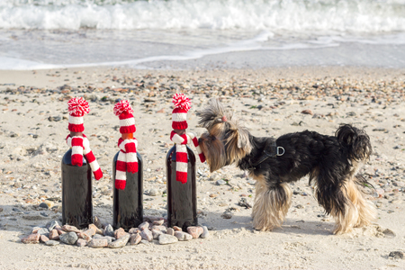 scarf beach: Funny Yorkshire Terrier sniffs a gift bottle of wine in knitted hat and scarf on the beach. Selective focus.