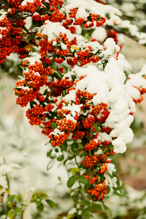 Rowan branch under snow in the winter. Selective focus. Stock Photo