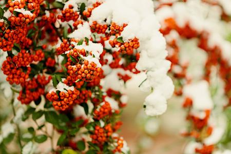 sorbus: Rowan branch under snow in the winter. Selective focus. Stock Photo