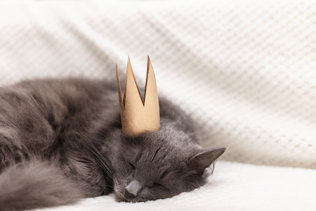 Funny gray fluffy cat is lying on the sofa with a golden crown on his head. Selective focus.