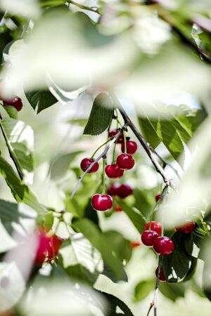 Bunches of red cherries in the garden on the branches. Selective focus.