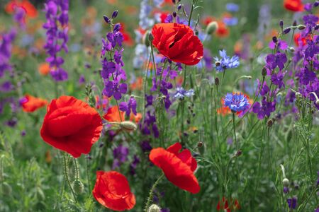 Wild flowers - poppies, cornflowers, daisies in the meadow. Selective focus.
