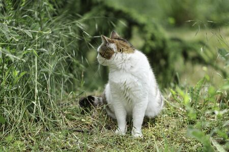 White cat with gray and red spots sits on the grass near the bushes. Selective focus.