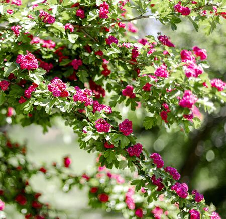 Spring time. Blooming decorative hawthorn with pink small flowers. Selective focus. Reklamní fotografie
