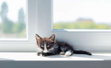Small funny black and white kitten (1.5 months) sits on the windowsill near the window. Selective focus. Reklamní fotografie